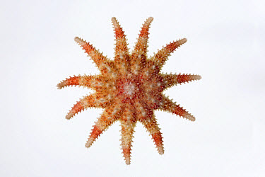 Common Sun Star (Crossaster papposus) diameter approximately fourteen centimeters, North Sea, Helgoland, Germany  -  Ingo Arndt