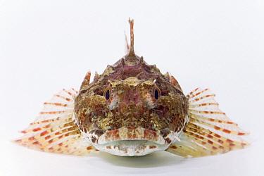 Longspined Sea Scorpion (Taurulus bubalis) length is aproximately twenty centimeters, Helgoland, Germany  -  Ingo Arndt