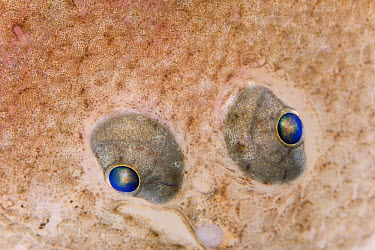European Flounder (Platichthys flesus) eyes, fish is approximately nine centimeters, Helgoland, Germany  -  Ingo Arndt