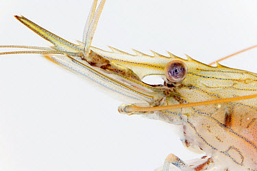 Common Prawn (Palaemon serratus) detail body length eight centimeters, Helgoland, Germany  -  Ingo Arndt