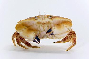 Edible Crab (Cancer pagurus) ten centimeters wide, Helgoland, Germany  -  Ingo Arndt