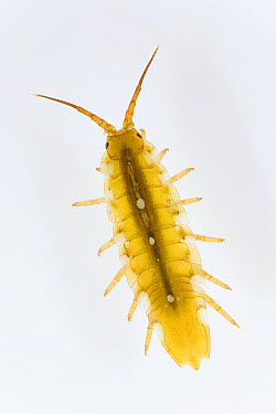 Isopod (Idotea sp) two centimeters, vulnerable, Helgoland, Germany  -  Ingo Arndt
