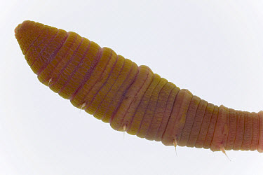 Lugworm (Arenicola marina) three centimeters, Helgoland, Germany  -  Ingo Arndt