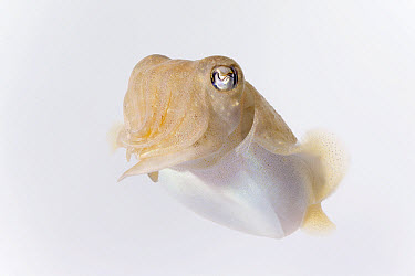 Common Cuttlefish (Sepia officinalis) twelve centimeters, Helgoland, Germany  -  Ingo Arndt