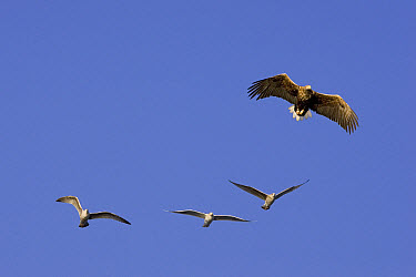 White-tailed Eagle (Haliaeetus albicilla) flying being mobbed by Herring Gulls (Larus argentatus), Norway  -  Ingo Arndt