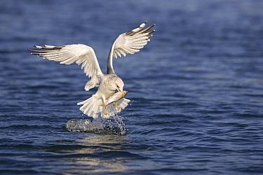 Mew Gull (Larus canus) with captured fish, Germany  -  Ingo Arndt