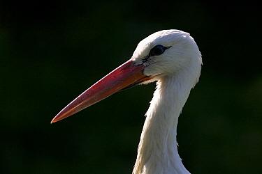 White Stork (Ciconia ciconia) portrait, Germany  -  Ingo Arndt