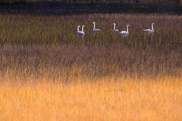 Whooper Swan (Cygnus cygnus) group feeding in marsh, Norway  -  Ingo Arndt