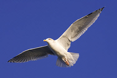 Herring Gull (Larus argentatus) flying, Norway  -  Ingo Arndt