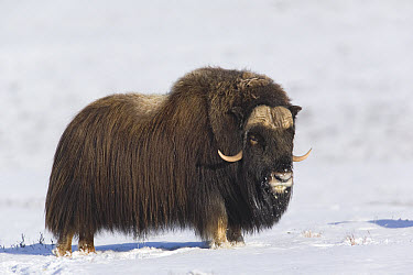 Muskox (Ovibos moschatus) showing thick insulating coat, Norway  -  Ingo Arndt
