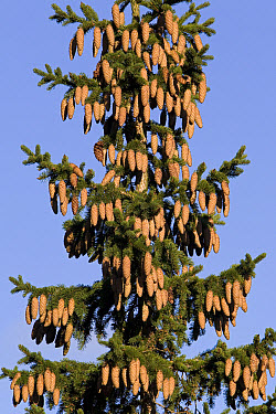Norway Spruce (Picea abies) tree, with numerous cones, Flatanger, Norway  -  Ingo Arndt