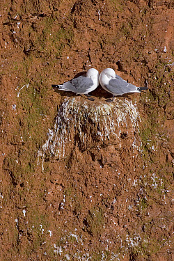 Black-legged Kittiwake (Larus tridactyla) couple on cliff nest, North Sea, Helgoland, Germany  -  Ingo Arndt