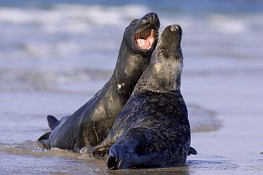 Grey Seal (Halichoerus grypus) pair play fighting, North Sea, Helgoland, Germany  -  Ingo Arndt