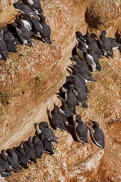 Common Murre (Uria aalge) flock on nesting rock, North Sea, Helgoland, Germany  -  Ingo Arndt