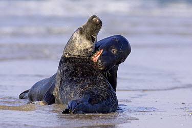 Grey Seal (Halichoerus grypus) play fighting, North Sea, Helgoland, Germany  -  Ingo Arndt