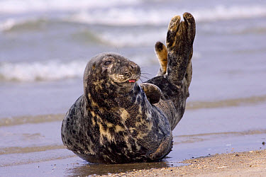 Grey Seal (Halichoerus grypus), North Sea, Helgoland, Germany  -  Ingo Arndt