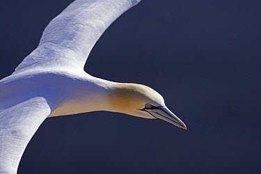 Northern Gannet (Morus bassanus) flying, North Sea, Helgoland, Germany  -  Ingo Arndt