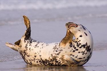 Grey Seal (Halichoerus grypus) scratching on beach, North Sea, Helgoland, Germany  -  Ingo Arndt