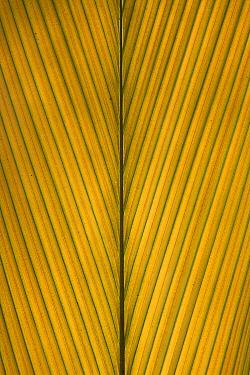 Palm Leaf showing midrib and veination, Yavari River, Amazon Basin, Peru  -  Ingo Arndt