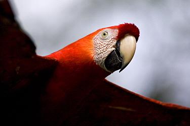 Scarlet Macaw (Ara macao) portrait flying, Amazon Ecosystem, Peru  -  Ingo Arndt
