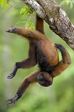 Humboldt's Woolly Monkey (Lagothrix lagotricha) using prehensile tail to hang in tree, Yavari River, Amazon Basin, Peru  -  Ingo Arndt
