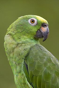 Mealy Parrot (Amazona farinosa) portrait, Yavari River, Amazon Basin, Peru  -  Ingo Arndt