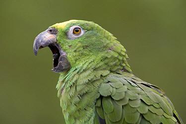 Mealy Parrot (Amazona farinosa) calling, Yavari River, Amazon Basin, Peru  -  Ingo Arndt
