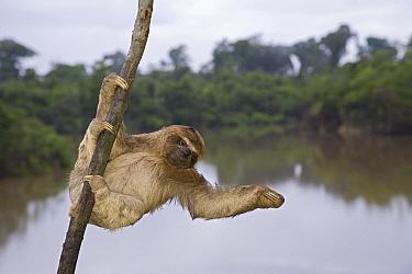Brown-throated Three-toed Sloth (Bradypus variegatus) hanging in tree, Amazon, Peru  -  Ingo Arndt