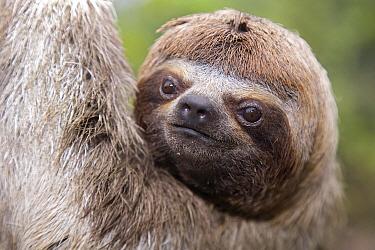 Brown-throated Three-toed Sloth (Bradypus variegatus) portrait, Amazon, Peru  -  Ingo Arndt