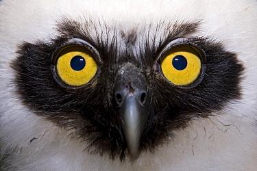 Owl portrait, Yavari River, Amazon Basin, Peru  -  Ingo Arndt