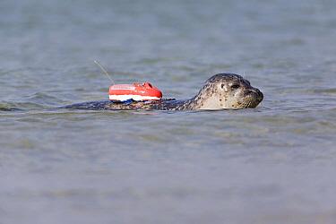 Common Seal (Phoca vitulina) with radio transmitter on its back, North Sea, Helgoland, Germany  -  Ingo Arndt