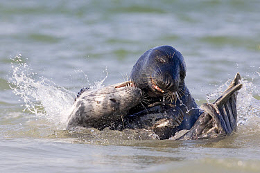 Grey Seal (Halichoerus grypus) in shallows, play fighting, North Sea, Helgoland, Germany  -  Ingo Arndt