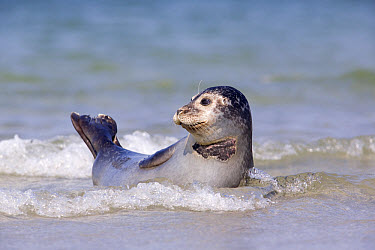 Common Seal (Phoca vitulina) resting in shallow water, North Sea, Helgoland, Germany  -  Ingo Arndt