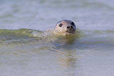 Common Seal (Phoca vitulina), North Sea, Helgoland, Germany  -  Ingo Arndt