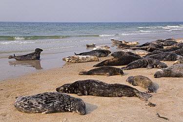 Grey Seal (Halichoerus grypus) hauled out group resting, North Sea, Helgoland, Germany  -  Ingo Arndt