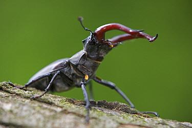 Stag Beetle (Lucanus cervus) showing large jaws, Germany  -  Ingo Arndt