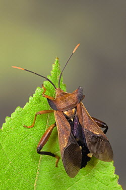Leaf-footed Bug (Mozena lurida) a true bug of the Heteroptera suborder, Guanacaste, Costa Rica  -  Ingo Arndt