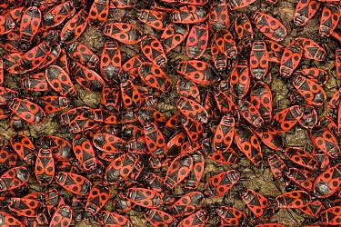 Fire Bug (Pyrrhocoris apterus) mass mating, a true bug of the Heteroptera suborder, Europe  -  Ingo Arndt