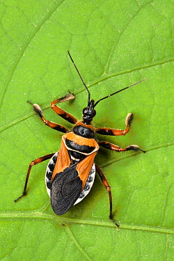 Assassin Bug (Apiomerus pictipes) a true bug of the Heteroptera suborder, Guanacaste, Costa Rica  -  Ingo Arndt