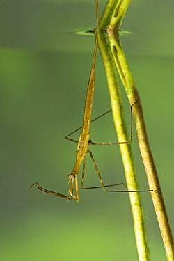 Water Stick Insect (Ranatra linearis) waiting for prey, a true bug of the Heteroptera suborder, Europe  -  Ingo Arndt