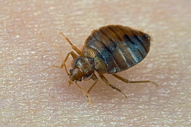 Bed Bug (Cimex lectularius) feeding on human blood, a true bug of the Heteroptera suborder, worldwide distribution  -  Ingo Arndt
