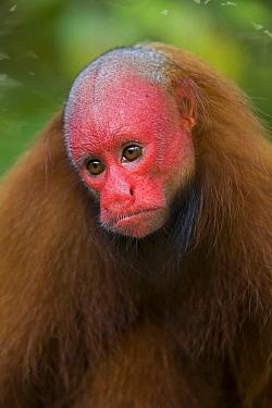 Red Uakari (Cacajao calvus) female, Amazon Ecosystem, Brazil  -  Ingo Arndt