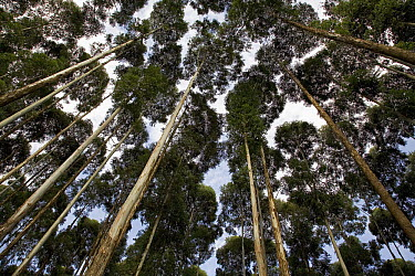 Gum Tree (Eucalyptus sp) plantation, Rwanda  -  Ingo Arndt