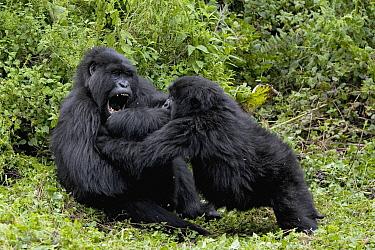 Mountain Gorilla (Gorilla gorilla beringei) subadult and juvenile play fighting, endangered species, Parc National des Volcans, Rwanda  -  Ingo Arndt