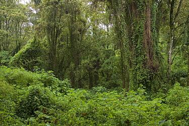 Mountain Gorilla (Gorilla gorilla beringei) habitat, rainforest on Mount Bisoke, Parc National des Volcans, Rwanda  -  Ingo Arndt