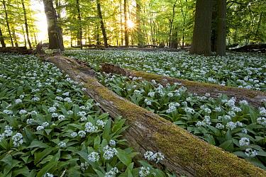 Garlic (Allium sp) growth in forest, Hessen, Germany  -  Ingo Arndt
