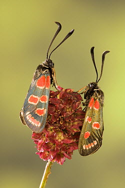 Burnet Moth (Zygaena carniolica) pair, Europe  -  Ingo Arndt