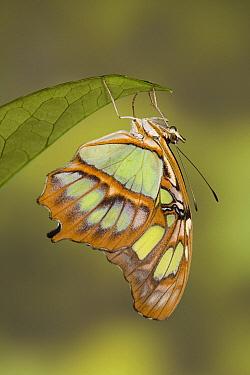 Malachite (Siproeta stelenes) butterfly, South America  -  Ingo Arndt