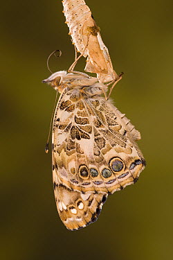 Painted Lady (Vanessa cardui) butterfly, Europe  -  Ingo Arndt