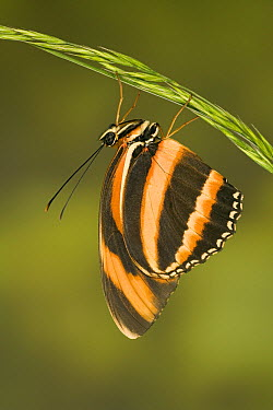 Banded Orange Heliconian (Dryadula phaetusa) butterfly, native to Central and South America  -  Ingo Arndt